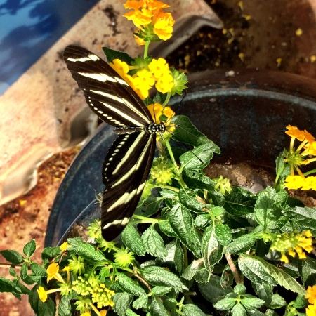ButterflyZebraLongTail